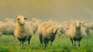 100 Koyun İçin Ne Kadar Mera Gerekir? Hayvan Dönüm Hesaplama