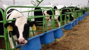 5 10 ve 50 Başlık Büyükbaş Hayvan Çiftliği Maliyeti ve Proje Örnekleri