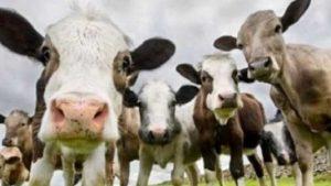 7 Sene Vadeli 2 Yıl Ödemesiz Hayvan Kredisi 2020