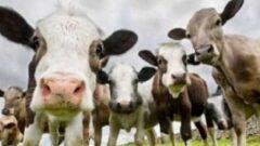 7 Sene Vadeli 2 Yıl Ödemesiz Hayvan Kredisi 2021