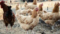 Organik Salma Tavuk Çiftliği Projesi