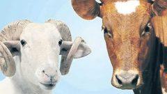 Tarım Kredi Kooperatif Hayvan Kredisi 2020
