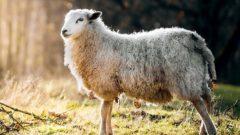 Ziraat Bankası Küçükbaş Koyun Kredisi 2020 Şartları