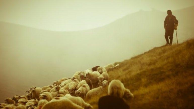 Çoban (Sürü Yöneticisi) Desteklemesi 2020 Yılında Ne Zaman Ödenecek?