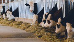 1 İnek Günlük Masrafı ve Maliyeti Ne Kadar? Çiftçi Hesabı