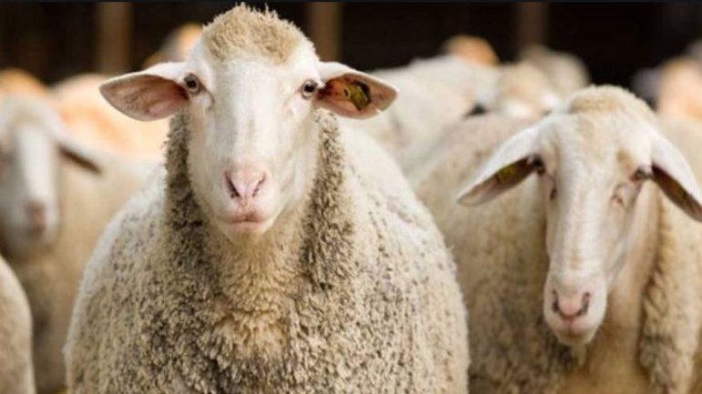 Ziraat Bankası Faizsiz 50 Koyun Kredisi 2020 Şartları