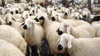 Koyun Fiyatları 2020 (Damızlık İvesi Dorper Kuzulu)
